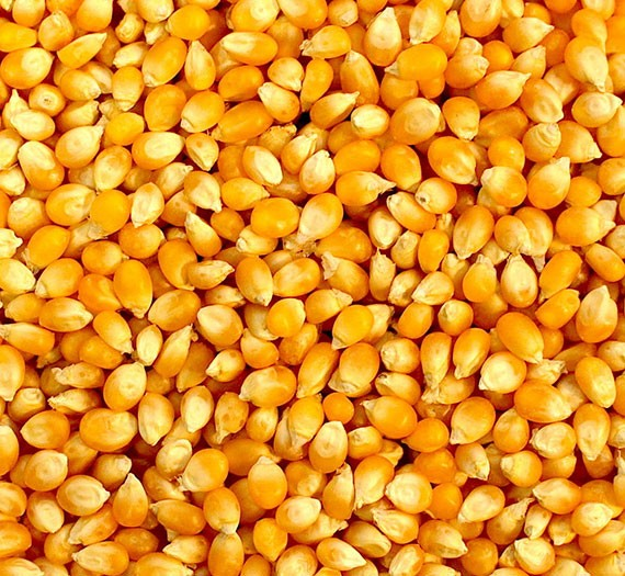 Yellow Corn Suppliers and Exporters